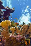 Coral reef with great fire coral and exoyic fishes Stock Photography