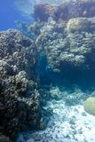 Coral reef with great hard corals at the bottom of tropical sea on blue water background Stock Photos