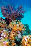Coral reef with great hard and soft corals at the bottom of tropical sea Stock Images
