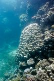 Coral reef with great porites coral at the bottom of tropical sea Royalty Free Stock Image