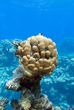 Coral reef with great single honeycomb coral at the bottom of tropical sea Stock Photography