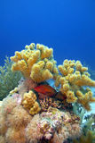 Coral reef with great soft coral and blue-spotted red exotic fish, underwater Stock Photography