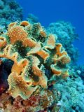 Coral reef with great soft coral on the bottom of Stock Photo