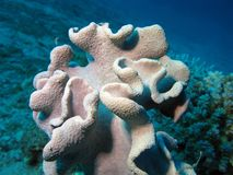 Coral reef with great soft coral at the bottom of tropical sea Stock Photos