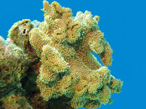 Coral reef with great soft yellow coral in tropical sea,underwat Stock Images