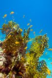 Coral reef with great yellow fire coral and fishes at the bottom of tropical sea Royalty Free Stock Images