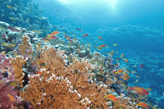 Coral reef with great yellow fire coral and fishes at the bottom Stock Photo