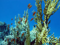 Coral reef with great yellow fire coral and fishes at the bottom of tropical sea Stock Photo