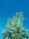 Coral reef with great yellow fire coral in tropical sea, underwa Stock Photos