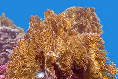 Coral reef with great yellow fire coral  - underwater Royalty Free Stock Image