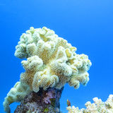 Coral reef with great yellow mushroom leather coral in tropical sea Stock Images