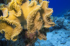 Coral reef with great yellow mushroom leather coral , underwater Royalty Free Stock Photography