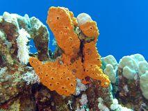 Coral reef with great yellow sea sponge at the bottom of tropical sea Royalty Free Stock Photography