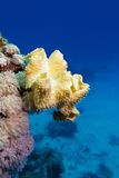 Coral reef with great yellow soft coral at the bottom of tropical sea Stock Image