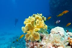 Coral reef with great yellow soft coral at the bottom of tropical sea Stock Photo
