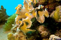 Coral reef with great yellow soft coral at the bottom of tropical sea Royalty Free Stock Photography