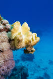 Coral reef with great yellow soft coral at the bottom of tropical sea Stock Photos