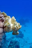 Coral reef with great yellow soft coral mushroom leather  at the bottom of tropical sea Stock Images