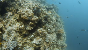 Coral reef and group of fishes. A medium shot of a coral reef showing the sides of the coral reef and groups of fish stock footage