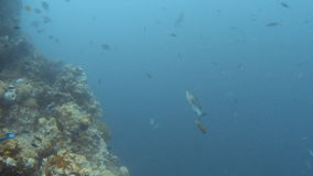 Coral reef and groups of fish. A full shot of coral and fishes. A tracking shot forward then focuses on one big fish stock footage