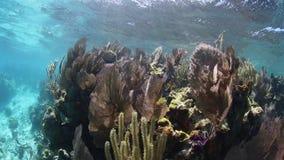Coral Reef Growing på kanten av blåtthålet i Belize arkivfilmer