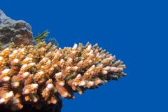 Coral reef with hard acropora coral at the bottom of tropical sea on blue water background Stock Photos