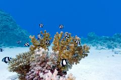 Coral reef with hard coral and exotic fishes at the bottom of tropical sea Royalty Free Stock Photo