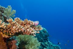 Coral reef with hard coral and exotic fishes at the bottom of tropical sea Stock Photos