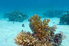 Coral reef with hard coral and exotic fishes white-tailed damselfish  at the bottom of tropical sea  on blue water background Royalty Free Stock Photos