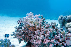 Coral reef with hard coral and exotic fishes white-tailed damselfish in tropical sea Stock Photos