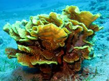 Coral reef with hard coral Turbinaria mesenterina at the bottom of tropical sea at blue water background Stock Photography