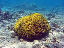 Coral reef with hard coral turbinaria mesenterina , underwater Stock Photo