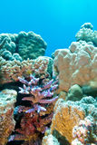 Coral reef with hard coral violet acropora at the bottom of trop Stock Image