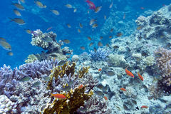 Coral reef with hard coral violet acropora at the bottom of trop Stock Photos
