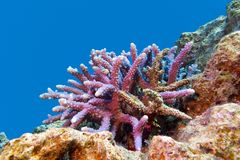 Coral reef with hard coral violet acropora at the bottom of tropical sea Stock Photography