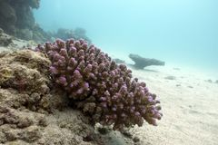 Coral reef with hard coral violet acropora at the bottom of tropical sea Royalty Free Stock Images