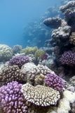 Coral reef with hard corals Royalty Free Stock Image