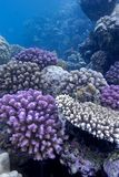 Coral reef with hard corals on the bottom of red sea Royalty Free Stock Images