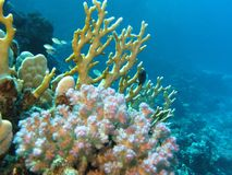 Coral reef with hard corals on the bottom of red sea Stock Photos