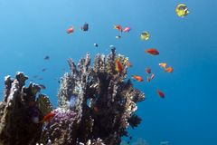 Coral reef with hard corals on the bottom of red sea Stock Photo