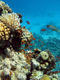 Coral reef with hard corals at the bottom of red sea Stock Photo
