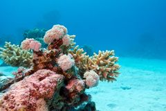 Coral reef with hard corals at the bottom of tropical sea on blue water background Stock Photography