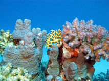 Coral reef with hard  corals at the bottom of tropical sea Stock Images