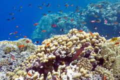 Coral reef with hard corals at the bottom of tropical sea Royalty Free Stock Photos