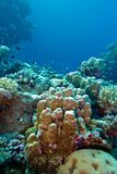 Coral reef with hard corals at the bottom of tropical sea on blue water background Stock Photos