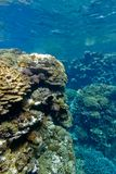 Coral reef with hard corals at the bottom of tropical sea on blue water background Royalty Free Stock Photos