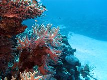 Coral reef with hard corals at the bottom of tropical sea Stock Photos