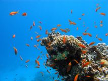 Coral reef with hard corals and exotic fishes anth Royalty Free Stock Photos