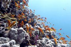 Coral reef with hard corals and exotic fishes anthias at the bottom of tropical sea Stock Photos