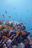 Coral reef with hard corals and exotic fishes anthias at the bottom of tropical sea on blue water background Royalty Free Stock Photos
